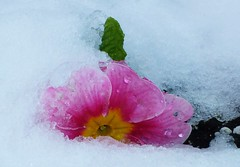 Back to Winter..x (Lisa@Lethen) Tags: snow flowers spring wintery weather nature primrose