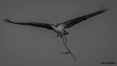 Nest building time for the Osprey's at Patoka Lake, Indiana. (flintframer) Tags: black white bw wow dattilo raptors osprey nesting flight patoka lake indiana park state canon eos 7d markii ef600mm 14x