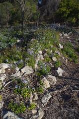 Plumbago auriculata, Manning Park, Fremantle, WA, 13/04/17 (Russell Cumming) Tags: plant weed plumbago plumbagoauriculata plumbaginaceae manningpark fremantle perth westernaustralia