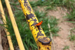 Borboleta bairro São João JM - Wir Caetano - 26 04 2017 (2) (dabliê texto imagem - Comunicação Visual e Jorn) Tags: borboleta inseto amarelo escada ferrugem