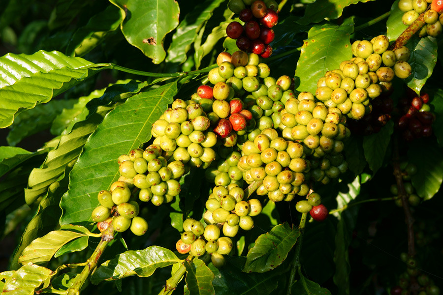 Vietnam is the world's second largest coffee exporter behind Brazil