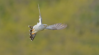 Cuckoo in Flight