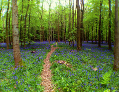 Bluebell path (Nada*) Tags: wood uk flowers blue england color colour green nature mobile les bluebells forest wow spring healthy phone walk cell vivid health vegetation bloom wald bluebell 4s ashridge iphone inbloom ashridgeestate ashridgewood iphone4s