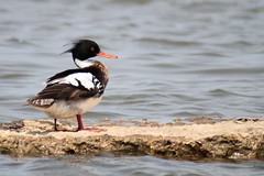 2013-05-18  Red-breasted Merganser (Alicia Lynn) Tags: merganser redbreastedmerganser mergusserrator