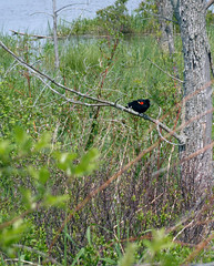 Red wing blackbird (one.juniper) Tags: park ontario canada beach nature water sunshine weekend wildlife may naturepreserve lakehuron provincialpark daytrip wetland portelgin saugeenshores victoriaday longweekend macgregorpoint brucecounty staycation