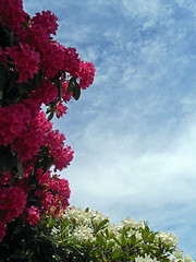 Pink and White and Sky (Sotosoroto) Tags: flowers washington rhododendron kirkland