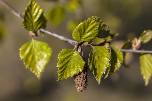 First leaves of birch tree
