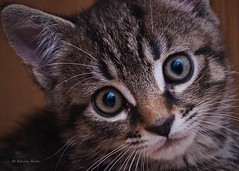 So cute your head will explode... (Silty Bottom) Tags: cute cat eyes kitten cross bengal