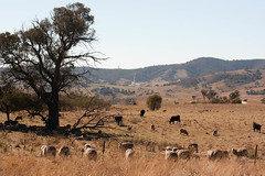 Not-so-wild Animals (jennofarc) Tags: animal cattle sheep space wildlife reserve australia nasa telescope canberra livestock act tidbinbilla ruminant conservationvolunteers namadginationalpark australianalps gibraltarrange