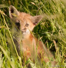 Kit in the Grass (Laurie-B) Tags: usa animals nikon flickr countries beaches kits delaware dslr mammals mammalia allrightsreserved carnivores redfox vulpesvulpes carnivora chordata canidae eukaryota laurieb lbricephoto foxesandwolves copyrightlaurenpeelerbrice contactphotographerforpermission lpbrice laurenpeelerbrice wavelandfarmstudio coverphototnc13 4riversphoto