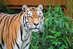 Zoo Mnster (Allwetterzoo) (Gnter Hentschel) Tags: cat zoo tiere nikon tiger bigcat mnster bren allwetterzoo elefanten d40 raubkatzen nikomd40 raubtieremkatzen