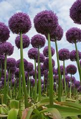 Allium Globemaster. (elsa11) Tags: flowers netherlands look nederland onions allium bloemen noordholland egmond alliaceae sierui natureplus alliumglobemaster