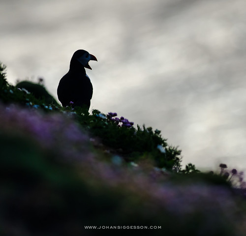 Silhouette of puffin