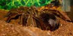 Goliath Bird Eater (Kevin Borland) Tags: usa animal newjersey tarantula oceancounty animalia arthropoda arachnida arthropod theraphosidae araneae tomsriver theraphosablondi insectropolis