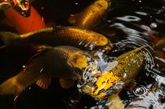 20130725-105050.jpg (frank.hoekzema) Tags: vacation fish nature water colors yellow nikon drente karper lightoom