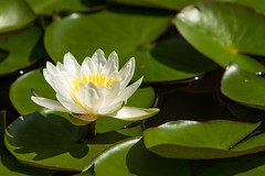 Water Lily (Scott DeSelle) Tags: canon waterlily acratech reallyrightstuff rrs canon70200f28l eos7d