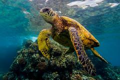 turtle10July20-13 (divindk) Tags: ocean sea coral hawaii marine underwater crystal turtle diving maui scubadiving honu reef seaturtle cheloniamydas clearwater greenseaturtle endangeredspecies underwaterphotography blueocean hawaiianislands makenalanding diverdoug