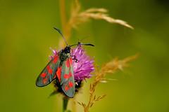 6 Spot Burnet (klythawk) Tags: nottingham red brown flower green nature grass insect grey dof purple thistle moth panasonic naturereserve omd 100300mm zygaenafilipendulae 6spotburnet em5 wilfordclaypit klythawk
