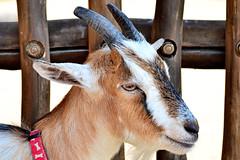 Pygmy Goat of Yokohama Zoological Gardens (Dakiny) Tags: summer animal animals japan mammal zoo photo nikon goat august photograph pygmygoat yokohama  tamron     8   zoorasia animalphoto 2013  a005   asahiku  yokohamazoologicalgardens   d5100  2013 modela005