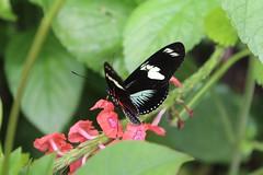 Doris Longwing  (Heliconius doris) (Kiasog) Tags: brooksidegardens dorislongwing wingsoffancy heliconiusdoris