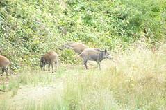 This little piggy (Filterboy Richard Trigg) Tags: pigs forestofdean wildbore