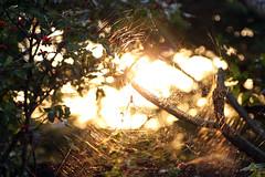Spider Sunset (NicholasAllison) Tags: light sunset orange sun flower nature spider outdoor brisbane glisten