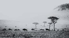 Masai Mara (Christopher.Michel) Tags: kenya lion safari migration wildebeest masaimara masia wildeye christophermichel zebrachristophermichel