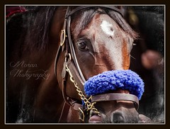 King Kongrats (EASY GOER) Tags: nyc horses horse ny fall sports racetrack canon track state action tracks racing course event 7d athletes races sporting thoroughbred equine thoroughbreds belmontpark equines sportofkings fallmeet