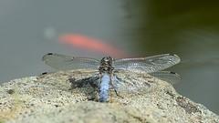 Groer Blaupfeil (Orthetrum Cancellatum) 2059 (fotoflick65) Tags: bug linz insect dragonfly ds 169 libelle insekt f8 garten leopold odonata botanischer iso250 orthetrum cancellatum iso200400 tamronspaf180mmf35dildifmacro segellibelle d7000 groserblaupfeil groslibelle st500 kepplinger fl180 ta180 y2013 fl150200 st400800 fotoflick65 ym06