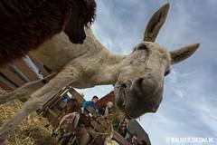 WS20131009_6131 (Walther Siksma) Tags: holland ezel veluwe gelderland putten 2013 ossenmarkt gelderlnad ossenmarkt2013 puttenseossenmarkt