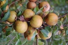 """Golden Russet Apples <a style=""""margin-left:10px; font-size:0.8em;"""" href=""""http://www.flickr.com/photos/91915217@N00/10302971686/"""" target=""""_blank"""">@flickr</a>"""