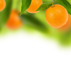 Fresh oranges (Oxana Denezhkina) Tags: life trees light orange plants white blur tree green leave leaves sunshine closeup fruit garden square dessert juicy spain mediterranean many background live seasonal grow sunny blurred nobody botanic citrus growing oranges diet agriculture isolated vitamin quadratic