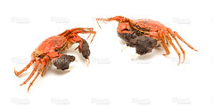 Cooked Chinese mitten crabs (imagesstock) Tags: china autumn red food cooking animal dinner restaurant fishing crab gourmet claw seafood steamed   cooked boiled  isolated preparation freshness arthropod  chineseculture healthyeating           animalback   aquaticreptile  preparedshellfish  preparedcrab