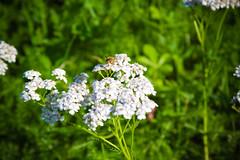 backyard Epping 04 (numstead) Tags: flowers sunlight france yellow outdoors backyard dof bee lorraine epping moselle farmyard