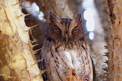 Scops Owl hiding amonst the vicious thornes in the Spiny Forest of South Madagascar. (One more shot Rog) Tags: bird nature birds fauna nocturnal wildlife ears hide camouflage owl thorns thorn madagascar owls scopsowl scops onemoreshotrog thornyforest rogersargentphotography