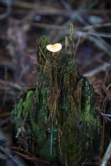 top dog (OR_U) Tags: macro green nature mushroom wet rotting closeup moss bokeh decay ngc stump oru newforest snag damp topdog 2013 vision:plant=0932 vision:outdoor=0616