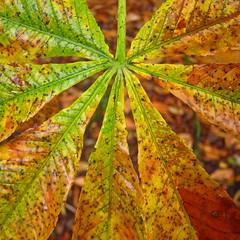 Shades of Autumn (ambo333) Tags: autumn england leaves leaf cumbria brampton