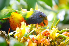 Rainbow Lorikeet (anna-cathryn) Tags: flowers bird colours vivid lorikeet parrot rainbowlorikeet