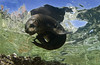 slpupcurl3661 (gerb) Tags: reflection water topv111 1025fav 510fav topv555 topv333 underwater scuba pi topv777 sealion animalplanet fins seaofcortez tvp aquatica losislotes d7000 sigma1017fe