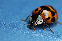 Harlequin ladybird on the car (Lord V) Tags: macro bug insect ladybird harlequin