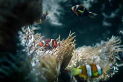 Cautious Clownfish (Kevin A. Smilden) Tags: blue orange fish color water animal coral rock canon dark photography aquarium photo soft underwater clown clownfish planet reef cautious amphiprioninae 650d