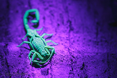 Ultraviolet Glow (-syphrix-) Tags: wild house macro nature animal canon photography photo interestingness interesting singapore glow nocturnal wildlife arachnid uv small picture bugs scorpion spotted ultraviolet invertebrate arthropod canon6d wildlifewednesday spottedscorpion syphrix