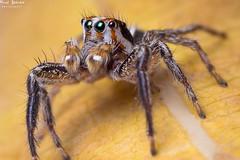 Jumper! (AlkhashabNawaf) Tags: male beautiful canon spider jumping eyes insects kuwait nawaf mpe 65mm 60d pantropical alkhashab