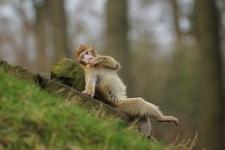 stay cool - Have a break pt.2.  , Barbary Macaque