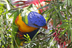 rainbow lorikeet 2 (Jim Bendon) Tags: rainbowlorikeet australianbirds northqueensland mountmolloy bendon 800mmf56
