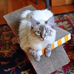 Neville (liquidnight) Tags: camera cats pets cute animals portland nikon blueeyes kittens mainecoon pdx felines katzen neville lynxpoint d90 uploaded:by=flickrmobile flickriosapp:filter=nofilter