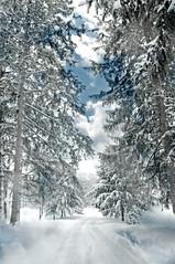 Winter Me (floralgal) Tags: park snow landscape driveway snowylandscape winterlandscape talltrees ryenewyork newyorklandscape westchestercountynewyork crawfordparkryenewyork
