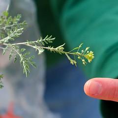 Wild Mustard With Flower Buds >><< Sometimes It's Polite To Point! (chicbee04) Tags: arizona southwest tucson sonorandesert naturewalk sobeautiful heavyovercast sabinocanyonvolunteernaturalists naturalistsguidetosabinocanyon wildmustardfamily