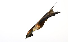 Red Kite (Benjamin Joseph Andrew) Tags: