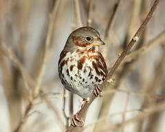 IMG_1512 Fox Sparrow (davidbbernstein1) Tags: bird boston watching feeder sparrow foxsparrow